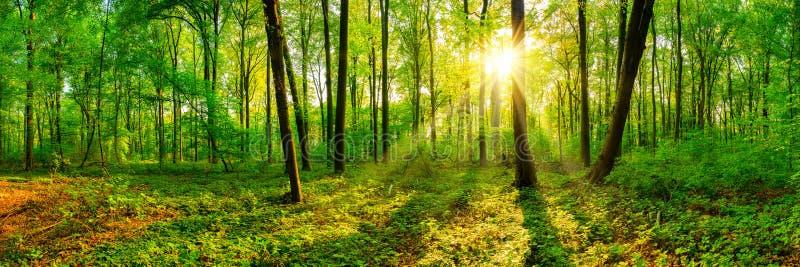 Красивая панорама леса весной с ярким солнцем стоковые фото