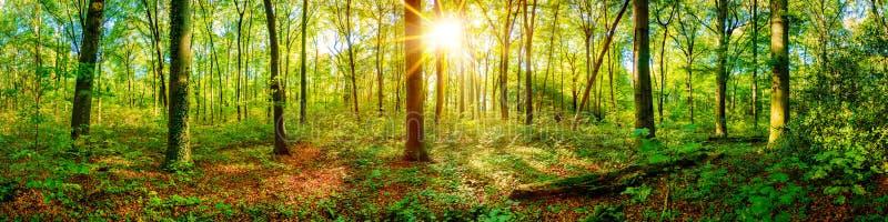 Красивая панорама леса с ярким солнцем стоковые фотографии rf