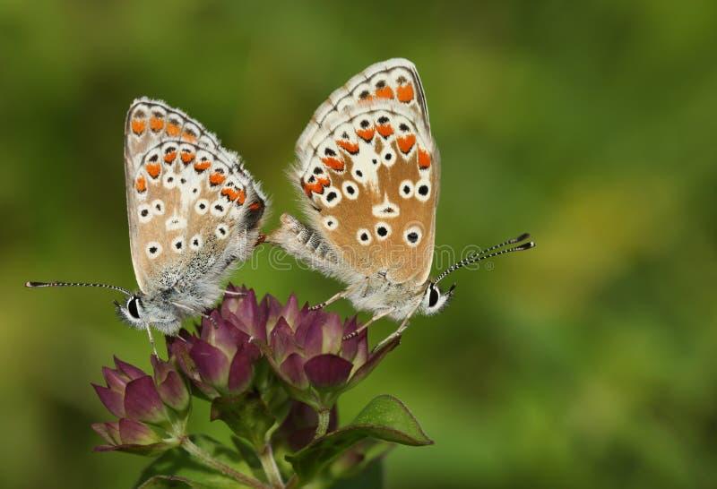 Красивая пара сопрягать бабочку Брауна Argus, agestis Aricia, садясь на насест на цветке в луге стоковое изображение