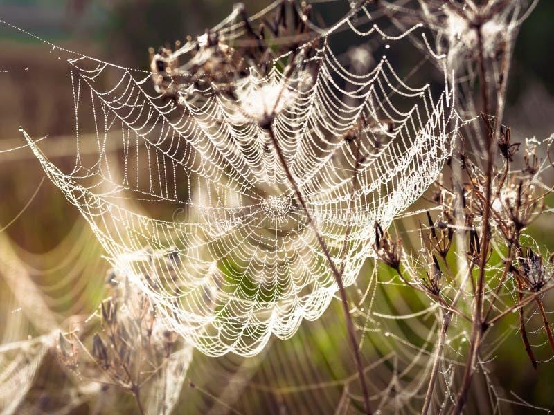Красивая паутина украшенная с падениями росы пошатывая в ветре в раннем утре r стоковое фото
