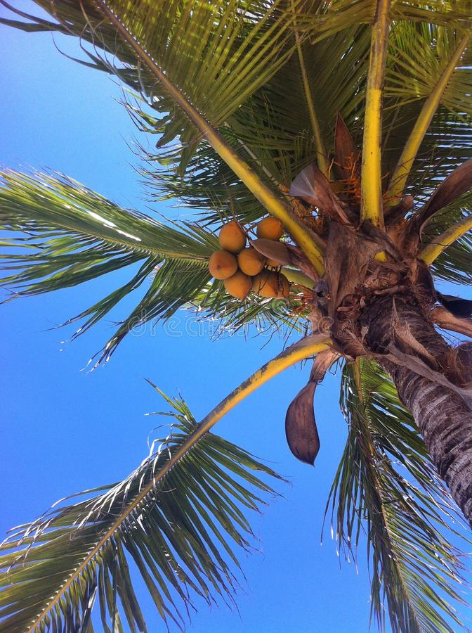 Красивая пальма кокоса на сини стоковое изображение rf
