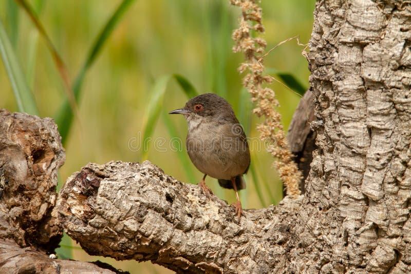 Красивая певчая птица melanocephala Сильвия садить на насест на ветви с зеленой предпосылкой стоковое изображение