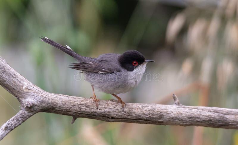 Красивая певчая птица melanocephala Сильвия садить на насест на ветви с зеленой предпосылкой стоковые фото