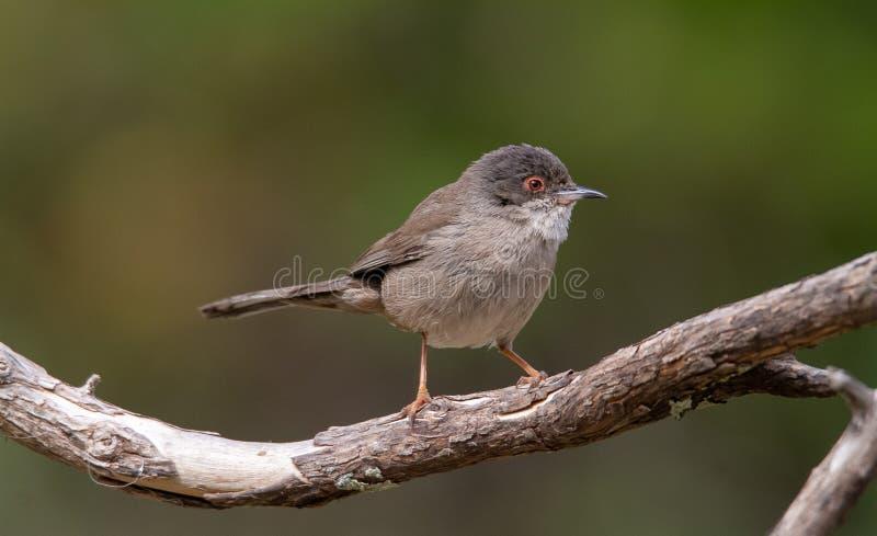 Красивая певчая птица melanocephala Сильвия садить на насест на ветви с зеленой предпосылкой стоковое изображение rf