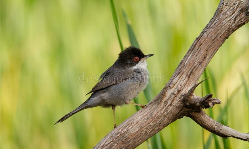 Красивая певчая птица melanocephala Сильвия садить на насест на ветви с зеленой предпосылкой стоковая фотография