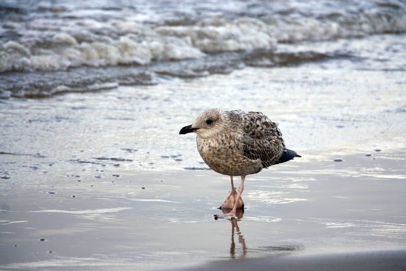 Красивая пестрая чайка идет на море стоковая фотография