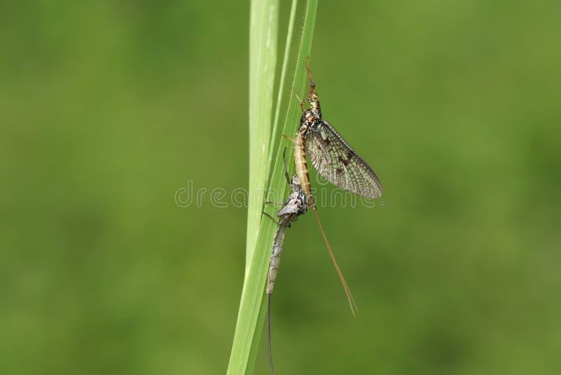 Красивая подёнка, vulgata Ephemera, садясь на насест на травинке рядом со своим кожухом нимфы которого он как раз вытекало от стоковые изображения
