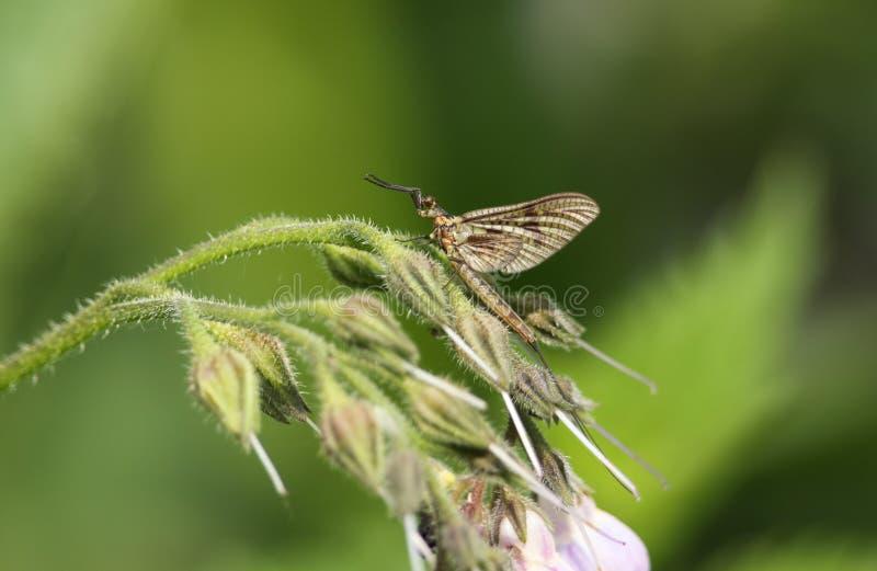 Красивая подёнка, vulgata Ephemera, садясь на насест на цветке Comfrey на крае быстрого пропуская реки стоковая фотография