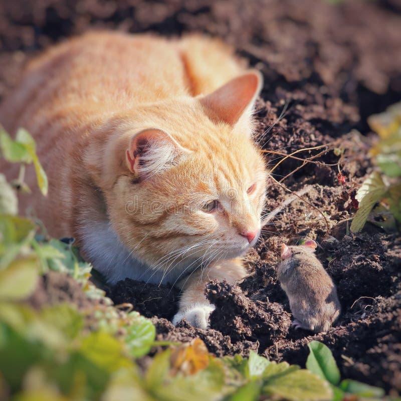 Красивая потеха кота и ухищренно играет с захваченной мышью стоковое изображение