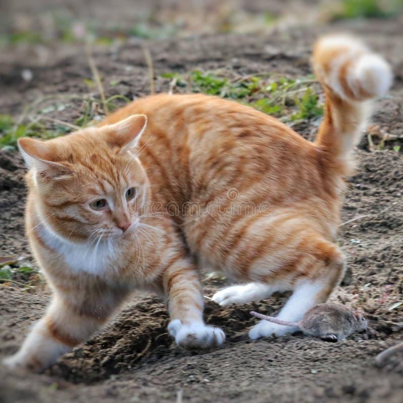Красивая потеха кота и ухищренно играет с захваченной мышью стоковые фотографии rf