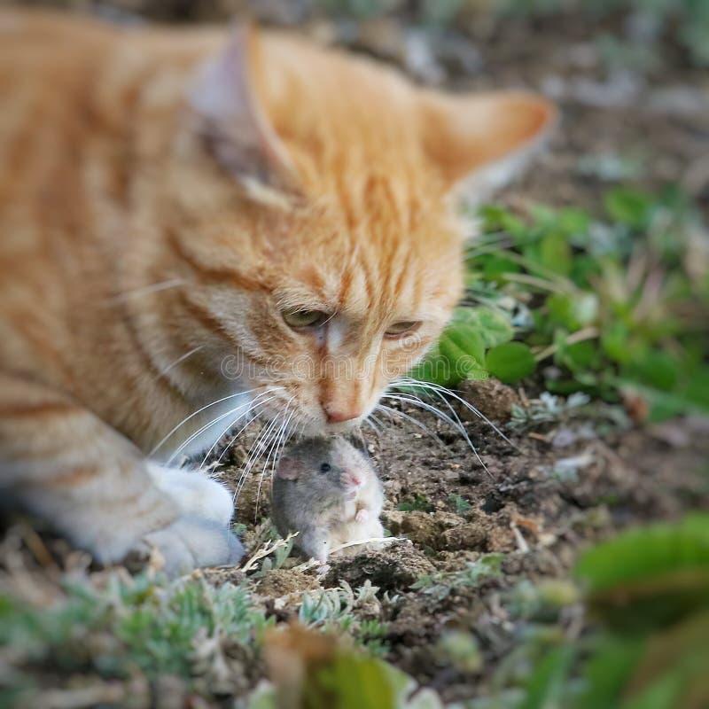 Красивая потеха кота и ухищренно играет с захваченной мышью стоковая фотография