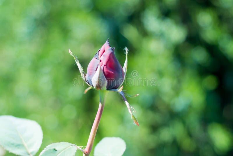 Красивая предпосылка валентинки Rosebud вы любите розу a душистую зацвела в саде лета стоковые фотографии rf