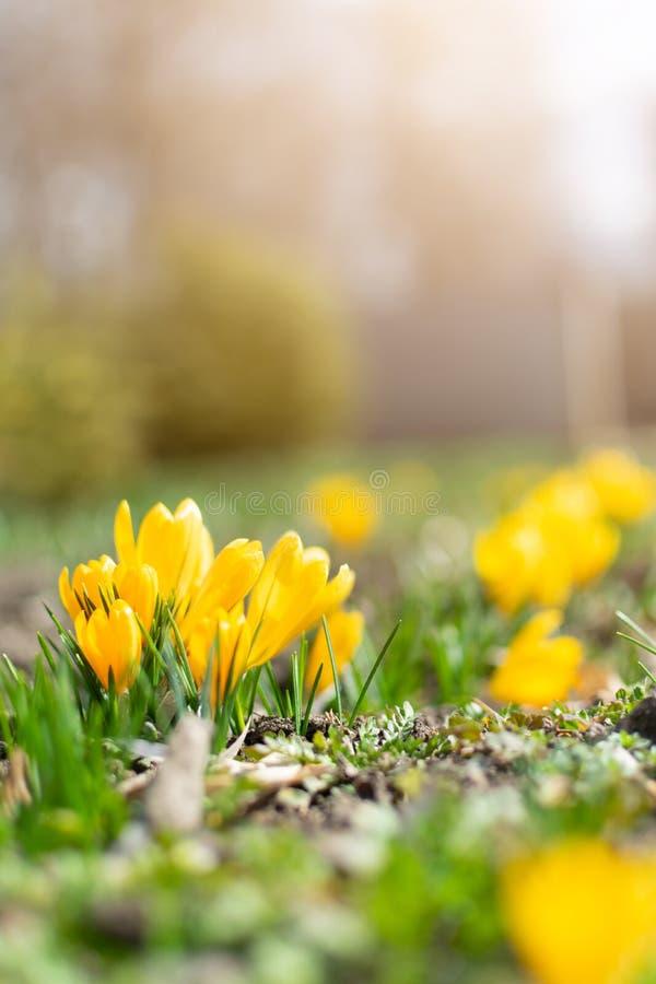 Красивая предпосылка весны с концом-вверх зацветать желтый и пурпурный крокус Первые цветки на луге в парке под ярким солнцем стоковое изображение