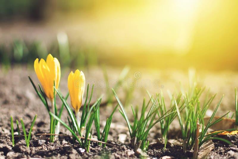 Красивая предпосылка весны с концом-вверх зацветать желтый и пурпурный крокус Первые цветки на луге в парке под ярким солнцем стоковые фото