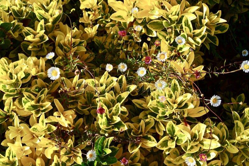 Красивая предпосылка желтых листьев и маргариток стоковая фотография rf