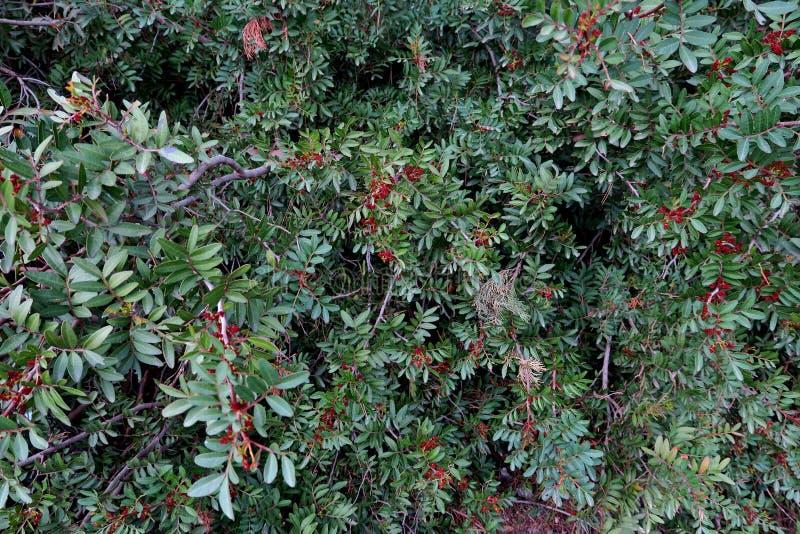 Красивая предпосылка зеленого растения с красными ягодами близко вве стоковое фото rf