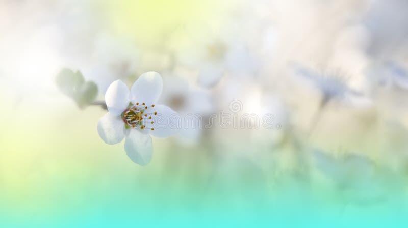 Красивая предпосылка природы весны Вишневый цвет Зеленые естественные обои Флористическое искусство Лето, солнце, свет Завод, эко стоковые изображения rf