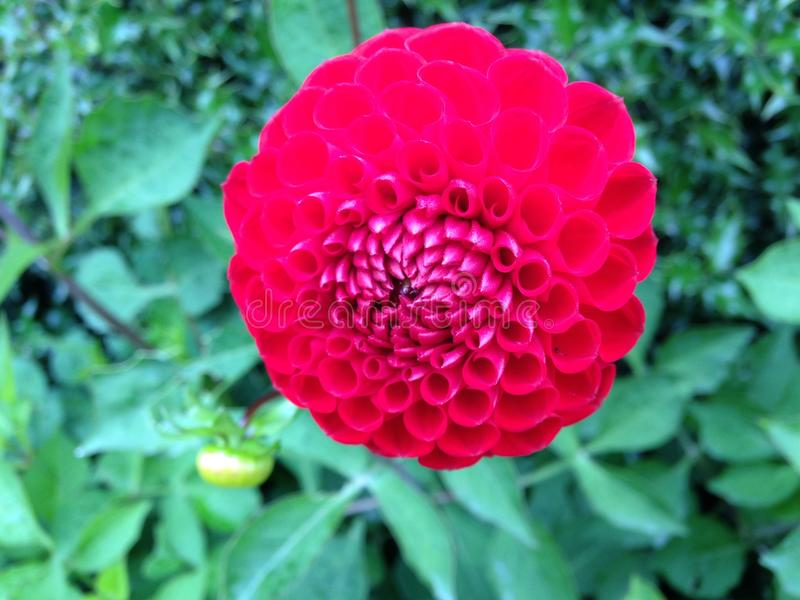 Красивая предпосылка зеленого цвета цветка красного цвета стоковые фотографии rf