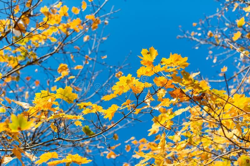 Красивая предпосылка осени от желтых кленовых листов на сини стоковые изображения