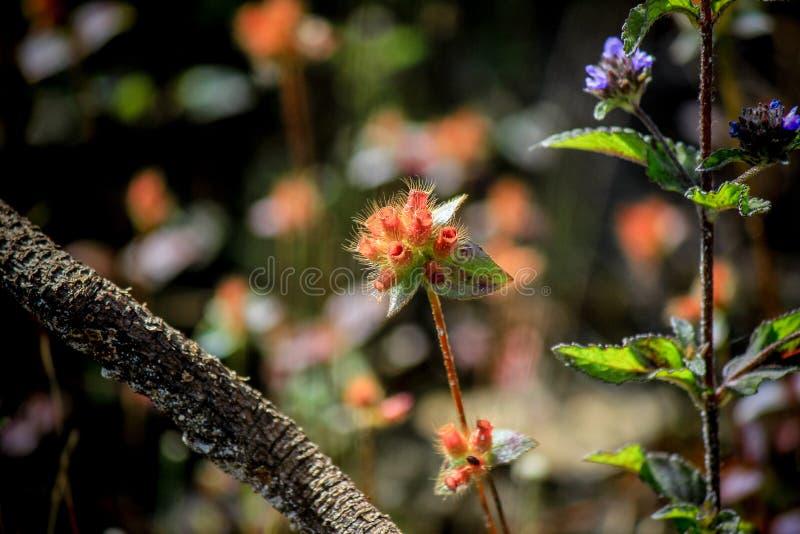Красивая природа на не поле цветка сына (парк нации Tung Salaeng Luang) стоковые фотографии rf