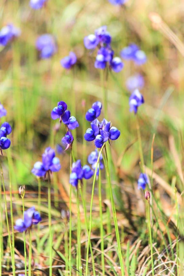 Красивая природа на не поле цветка сына (парк нации Tung Salaeng Luang) стоковая фотография rf