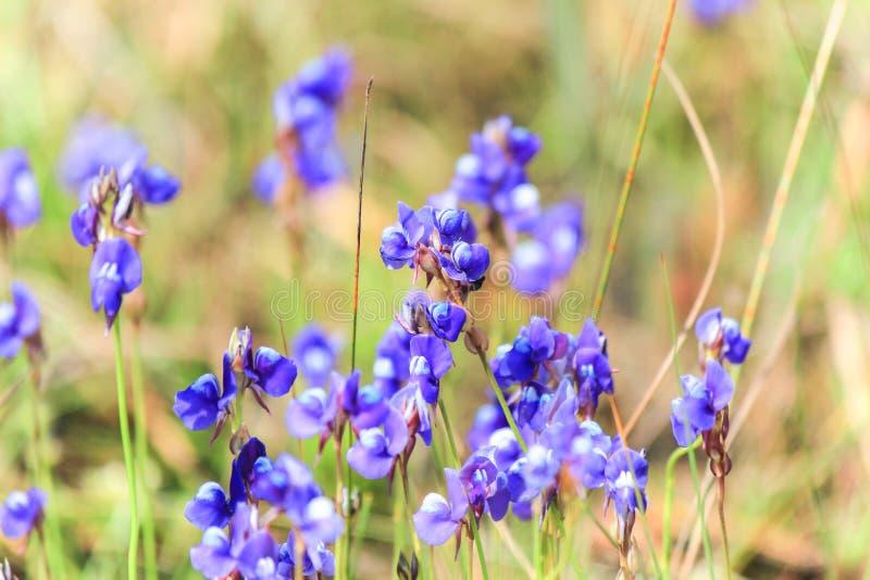 Красивая природа на не поле цветка сына (парк нации Tung Salaeng Luang) стоковое изображение rf