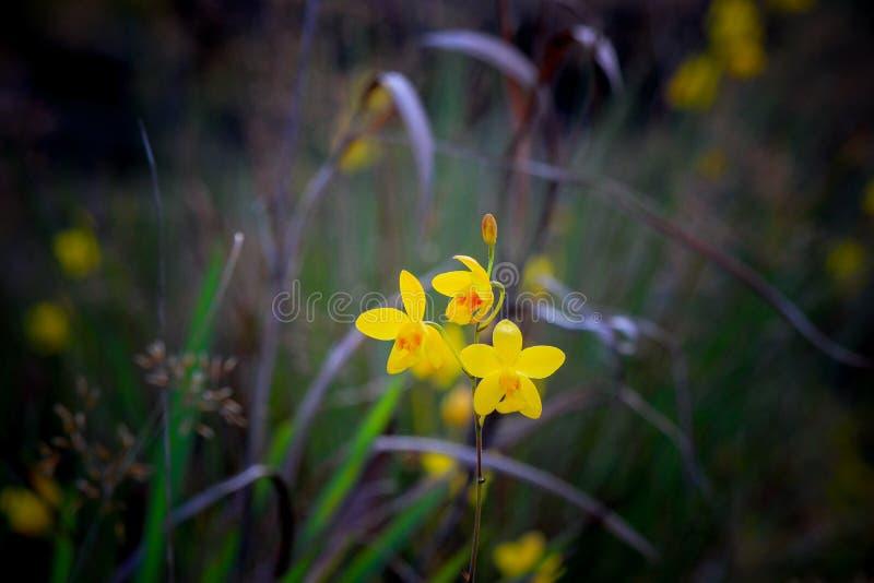 Красивая природа на не поле цветка сына (парк нации Tung Salaeng Luang) стоковое фото rf