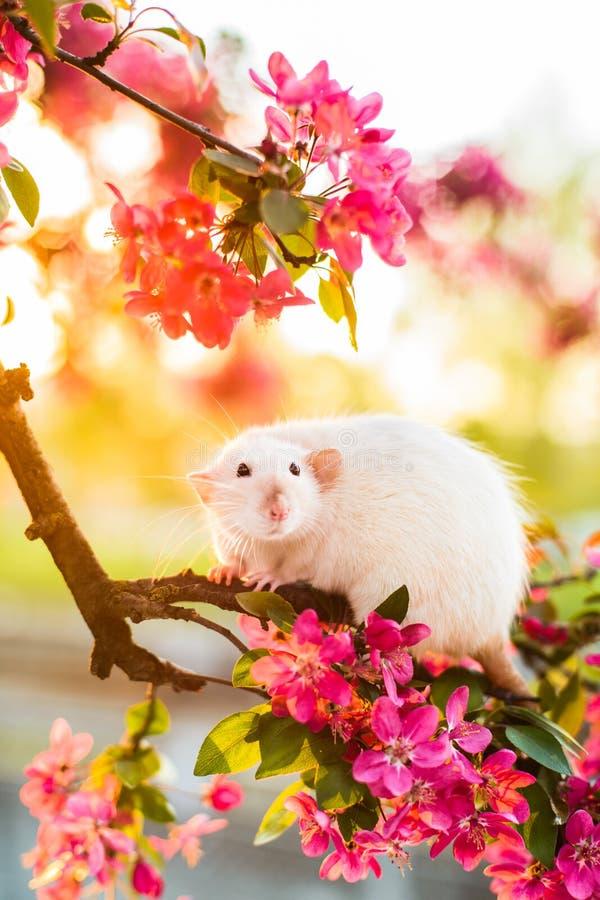 Красивая причудливая крыса сидя в цветении розового яблока стоковое фото rf