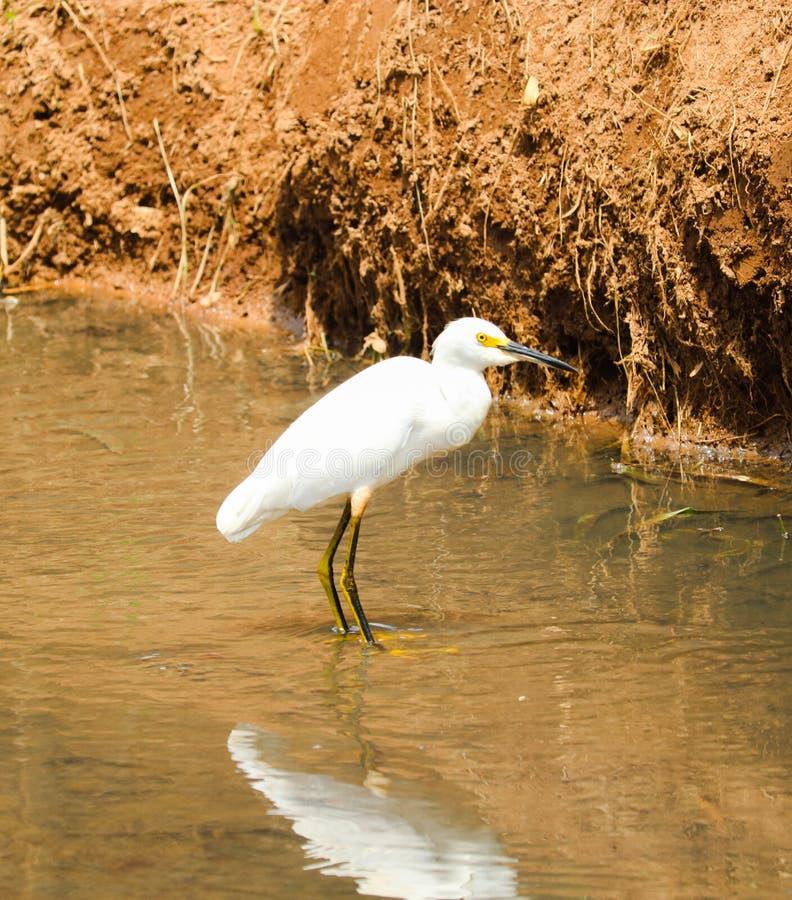 Красивая птица в воде моего города стоковая фотография
