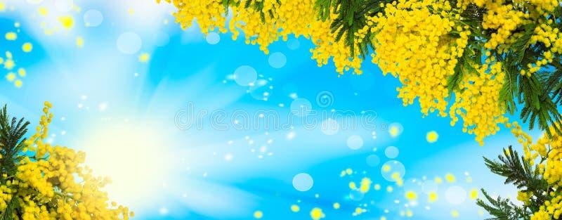 Красивая пушистая мимоза цветет предпосылка панорамы Зацветая природа дерева мимозы весны над голубым небом и солнцем Templ поздр стоковое изображение rf