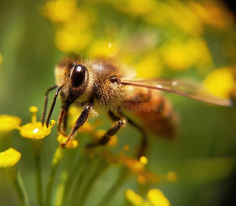Красивая пчела стоковое изображение rf