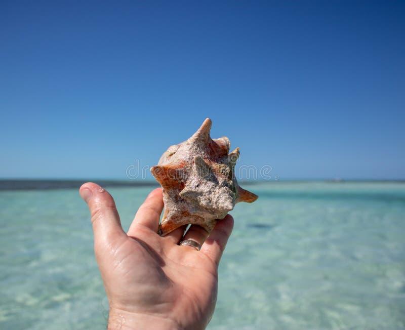 Красивая раковина на тропическом песчаном пляже будучи придержанным человеком стоковые фото