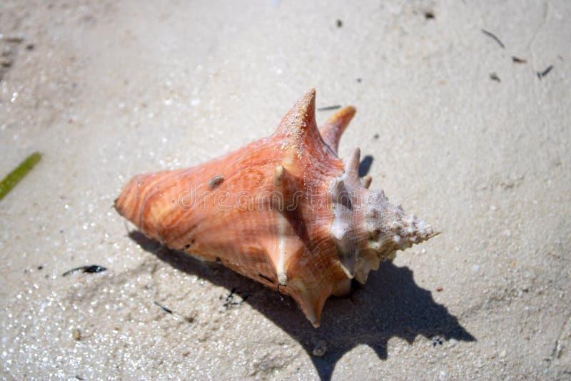 Красивая раковина на тропическом песчаном пляже стоковое фото rf