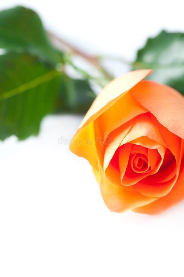 Красивая роза апельсина стоковое фото