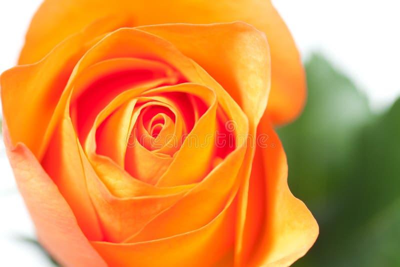 Красивая роза апельсина стоковые изображения