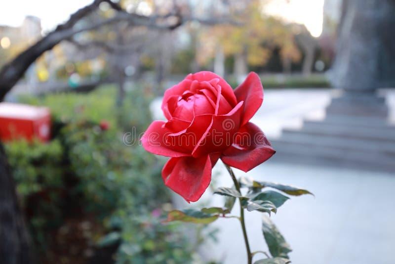 Красивая роза для вашего дня рождения стоковое фото rf