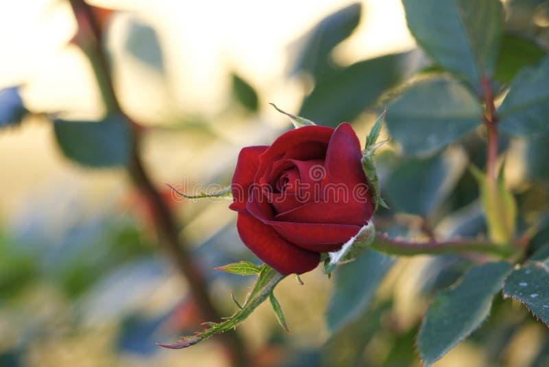 Красивая роза красная стоковое изображение rf