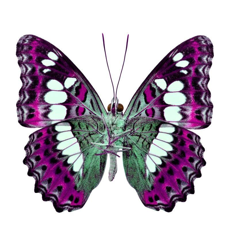 Красивая розовая бабочка, общий командир (procris moduza) под крыльями в профиле цвета fancyl изолированными на белизне стоковые фото