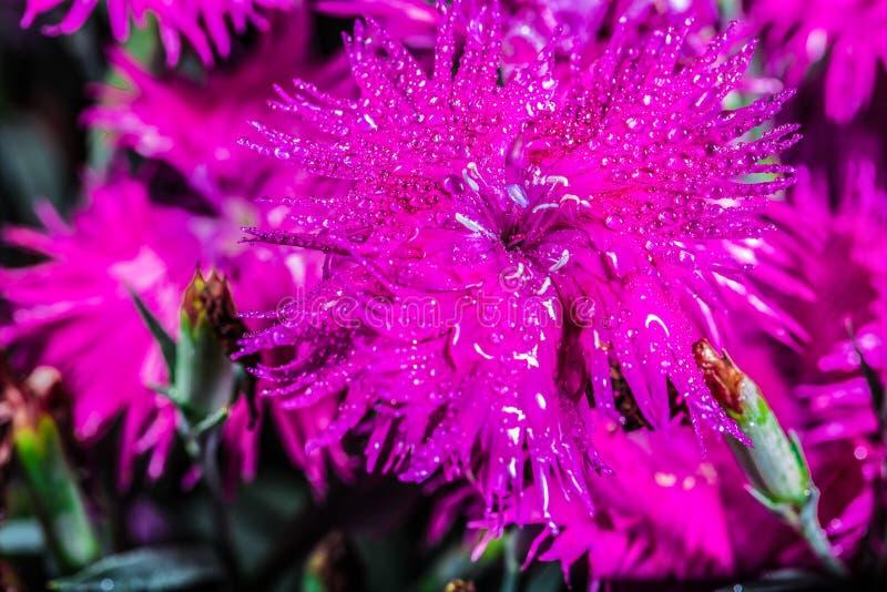 Красивая розовая гвоздика стоковое изображение