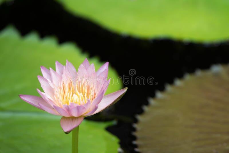 Красивая розовая лилия воды зацветая на тонизированных поверхности воды и зеленых листьях, предпосылке природы очищенности, аквар стоковая фотография