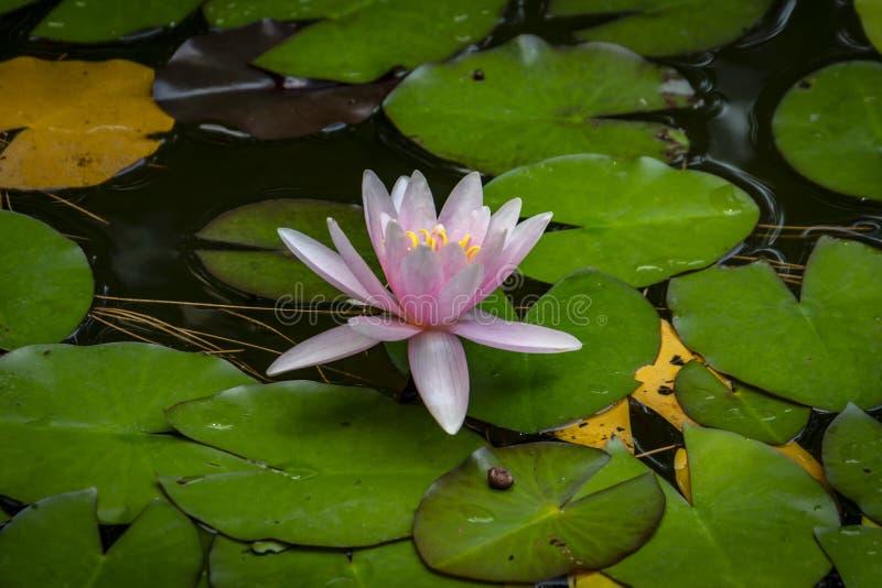 Красивая розовая лилия воды Marliacea Rosea или цветок лотоса на предпосылке отброса осени с иглами, зеленым цветом и желтым цвет стоковое изображение rf