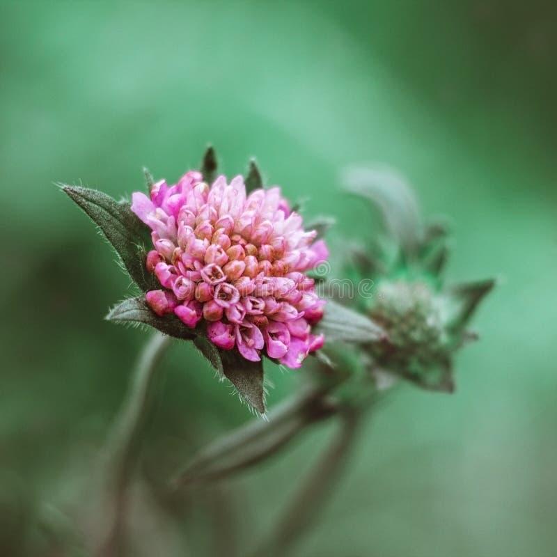 Красивая розовая scabious поля цветка, цыганская роза, pincushion, arvensis knautia на зеленом конце предпосылки вверх Луг, цвето стоковая фотография