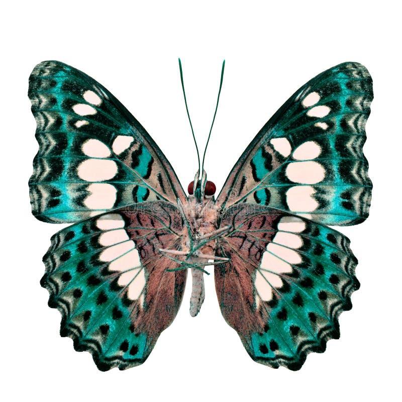 Красивая салатовая бабочка, общий командир (procris moduza) под крыльями в профиле цвета fancyl изолированными на белизне стоковое изображение