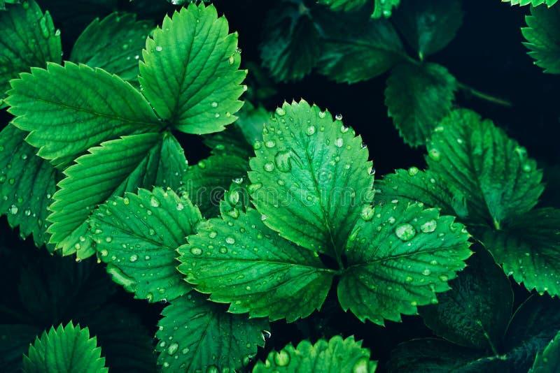 Красивая свежая клубника растительности выходит после предпосылки дождя стоковое изображение