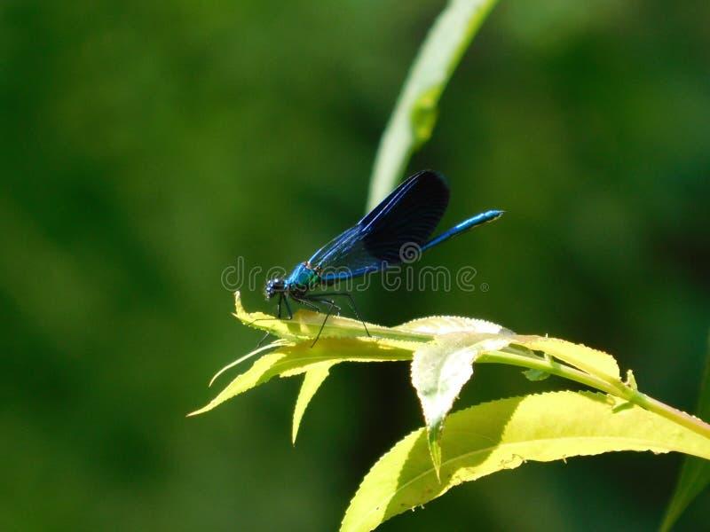 Красивая синь dasherdragonfly сидя на лист стоковое фото rf