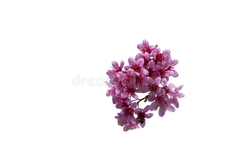 Красивая слива Cesacoides Сакуры вишневого цвета изолированное на белой предпосылке стоковая фотография rf