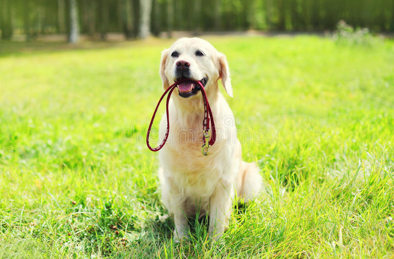 Красивая собака золотого Retriever при поводок сидя на траве стоковые фотографии rf