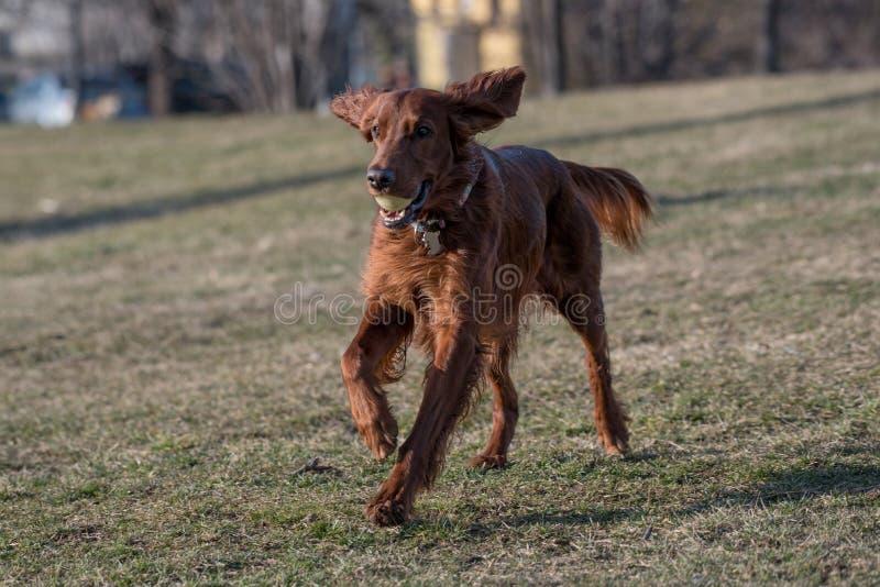 Красивая собака ирландского сеттера бежит через поле Селективное focu стоковое изображение