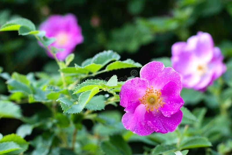 Красивая собака подняла цветене в саде, время цветков весны стоковое изображение