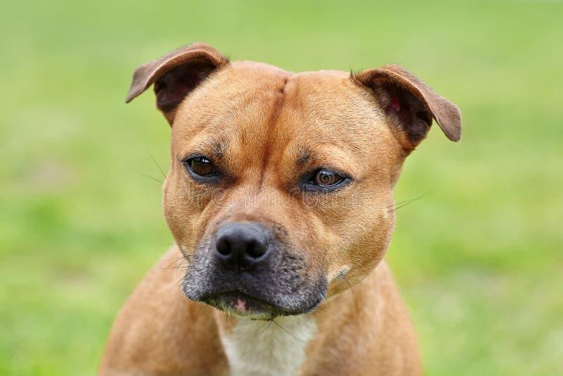 Красивая собака породы терьера Стаффордшира Bull, цвета имбиря с меланхоличным взглядом, закрывает вверх по портрету cuty женщины стоковые изображения rf
